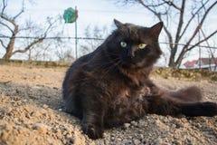Portret gęsty długie włosy czarny Chantilly Tiffany kot relaksuje w ogródzie Zamyka up gruby tomcat z stunning dużych zielonych o fotografia royalty free