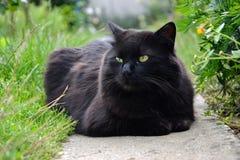 Portret gęsty długie włosy czarny Chantilly Tiffany kot relaksuje w ogródzie Zbliżenie gruby tomcat z stunning dużych zielonych o zdjęcie royalty free