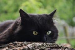 Portret gęsty długie włosy czarny Chantilly Tiffany kot relaksuje w ogródzie Zbliżenie gruby tomcat z stunning dużych zielonych o obrazy royalty free
