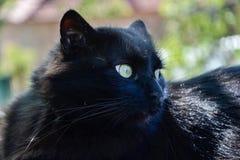 Portret gęsty długie włosy czarny Chantilly Tiffany kot relaksuje w ogródzie Zbliżenie gruby tomcat z stunning dużych zielonych o fotografia royalty free