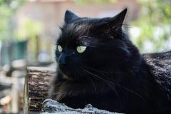 Portret gęsty długie włosy czarny Chantilly Tiffany kot relaksuje w ogródzie Zbliżenie gruby tomcat z stunning dużych zielonych o zdjęcia stock