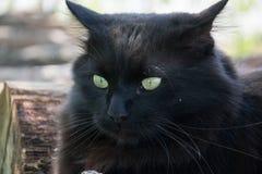 Portret gęsty długie włosy czarny Chantilly Tiffany kot relaksuje w ogródzie Zbliżenie gruby tomcat z stunning dużych zielonych o obraz royalty free