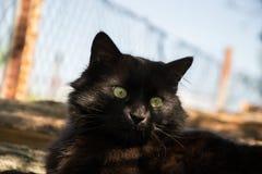 Portret gęsty długie włosy czarny Chantilly Tiffany kot relaksuje w ogródzie Zbliżenie gruby tomcat z stunning dużych zielonych o obraz stock