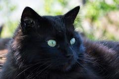 Portret gęsty długie włosy czarny Chantilly Tiffany kot relaksuje w ogródzie Zbliżenie gruby tomcat z stunning dużych zielonych o obrazy stock