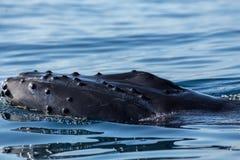 Portret głowa humpback wieloryb Zdjęcia Stock