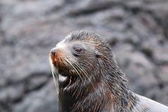 Portret Galapagos futerkowy denny lew na Santiago wyspie, Galapagos Obrazy Stock