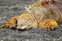 Portret Galapagos ziemi iguana, Conolophus subcristatus zdjęcia stock