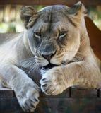 Portret Gderliwy Afrykański Żeński zoo lew Obrazy Stock
