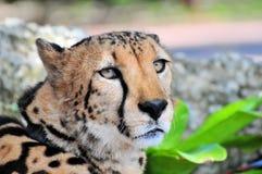 Portret gepard Zdjęcie Stock