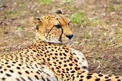 Portret gepard Obrazy Stock