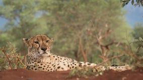 Portret gepard kłaść na ziemi zdjęcie stock