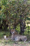 Portret gepard Męczył po rasy dla impala Odpoczynek w krzaku Kenja, Afryka Zdjęcie Royalty Free