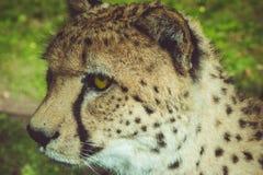 Portret gepard, rocznika spojrzenie Zdjęcia Stock