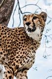 portret geparda geppard gatunków obraz royalty free