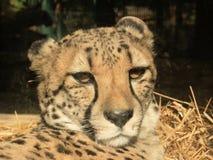 portret geparda geppard gatunków Obraz Stock