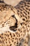portret geparda geppard gatunków zdjęcie royalty free