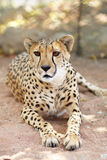 portret geparda iii zdjęcie royalty free