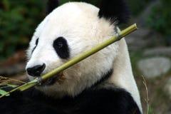 Portret gigantycznej pandy łasowanie na ziemi zdjęcia stock