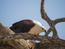 Portret gigantyczny Afrykański Rybiego Eagle obsiadanie w nieżywym drzewie, Chobe NP, Botswana, Afryka Zdjęcia Stock