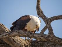Portret gigantyczny Afrykański Rybiego Eagle obsiadanie w nieżywym drzewie i karmieniu na ryba, Chobe NP, Botswana, Afryka Obrazy Royalty Free