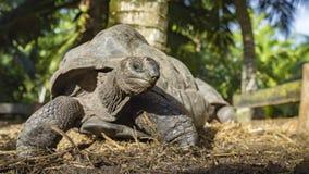 Portret gigantyczny tortoise 4 Obrazy Royalty Free