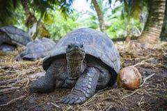 Portret gigantyczny tortoise 7 Fotografia Royalty Free