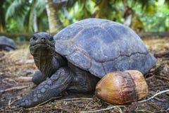 Portret gigantyczny tortoise 20 Obrazy Royalty Free
