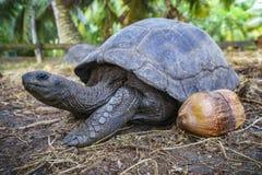 Portret gigantyczny tortoise 30 Zdjęcie Royalty Free