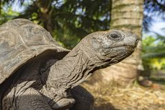 Portret gigantyczny tortoise 32 Zdjęcie Royalty Free