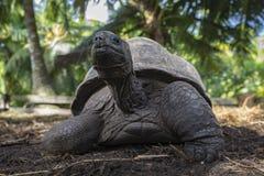 Portret gigantyczny tortoise 34 Obraz Stock