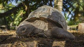 Portret gigantyczny tortoise 35 Zdjęcie Royalty Free