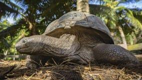 Portret gigantyczny tortoise 36 Obraz Royalty Free