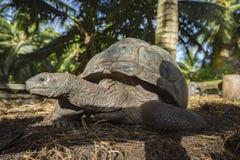 Portret gigantyczny tortoise 39 Obrazy Royalty Free