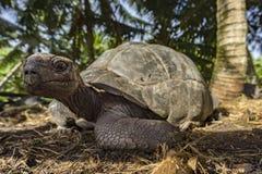 Portret gigantyczny tortoise 44 Zdjęcia Stock