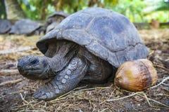 Portret gigantyczny tortoise 27 Zdjęcie Stock
