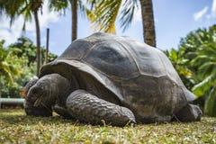 Portret gigantyczny tortoise 51 Obrazy Royalty Free