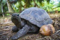 Portret gigantyczny tortoise 9 Fotografia Royalty Free