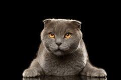 Portret Gniewny Brytyjski fałdu kot na czerni Zdjęcie Stock