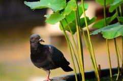 Portret gołębi zakończenie up Zdjęcie Stock
