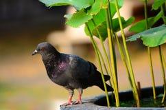 Portret gołębi zakończenie up Zdjęcie Royalty Free