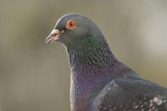 portret gołębie Zdjęcie Stock