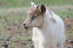 A portret of goat kid. A portret of funny goat kid Stock Photo