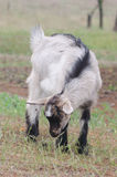 A portret of goat kid. A portret of funny goat kid Royalty Free Stock Image