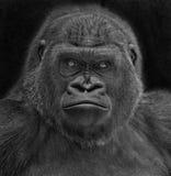 portret goryla fotografia stock