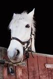 Portret of grey pony Royalty Free Stock Image