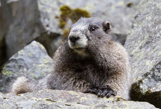 Portret Grijswitte Marmot Stock Foto