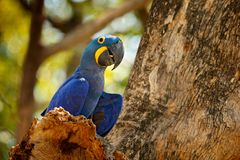 Portret grote blauwe papegaai, Pantanal, Brazilië, Zuid-Amerika Mooie zeldzame vogel in de aardhabitat Het wild Bolivië, ara in w stock foto