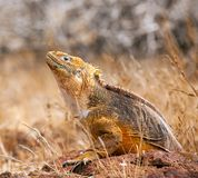 Portret gruntowa iguana, Galapagos wyspy, Ekwador Obrazy Stock