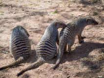 Portret grupa trzy Skrzyknął mangusty lub Mungos Mungo zwierzęta, Chobe Rzeczny park narodowy, Botswana, afryka poludniowa Fotografia Stock