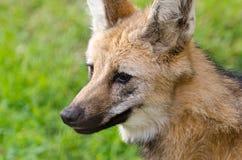 Portret grzywiasty wilk Zdjęcie Royalty Free